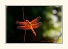 Dragonflies_1