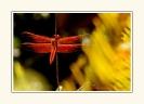 Dragonflies_2