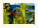 Dragonflies_3