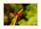 Dragonflies_5