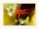 Dragonflies_8