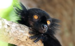 Black Lemur, Nosey Be, Madagascar