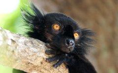 Black Lemur, Nosey Be, Madagascar
