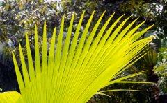 Palm leaf, Seychelles