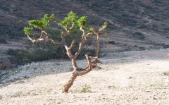 Frankincense Tree, Oman