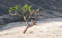 Frankincense Tree, Oman