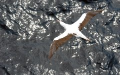 Masked Booby, Cape Horn