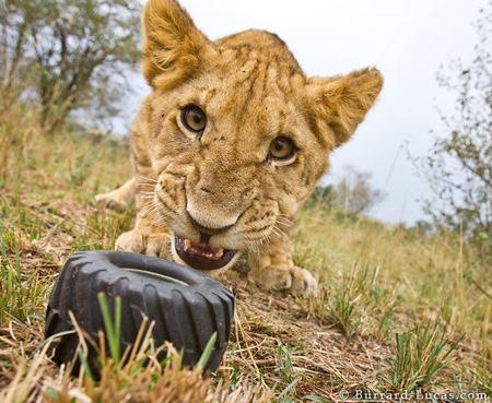 Lion removes wheel from Beetlecam